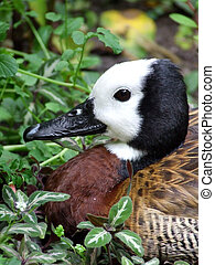 White Faced Whistling Duck - A male White Faced Whistling...