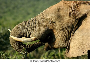 Elephant eating in South Africa National Park