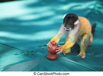 Capuchin monkey - Small Capuchin monkey in South Africa