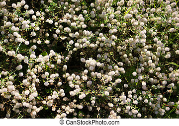Blooming rabbitfoot clover background - Blooming rabbitfoot...