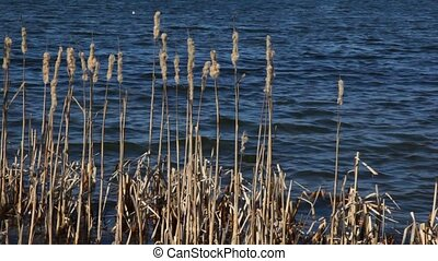 bulrush pod heads reed mace against dark blue autumn lake