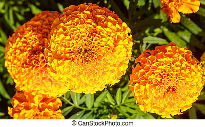 Blooming Yellow Marigolds (Tagetes)