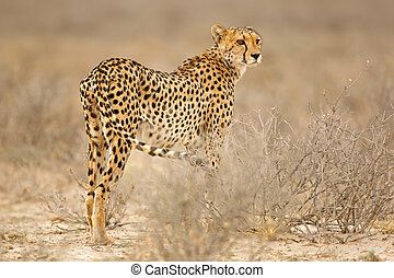 Cheetah in natural habitat - Cheetah (Acinonyx jubatus) in...
