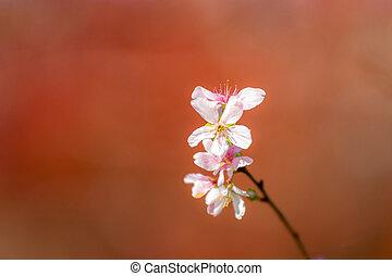 Sakura Cherry blossoms for spring background japan