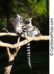 Two adult lemur katta (Lemur catta) - Two Tailed lemurs...