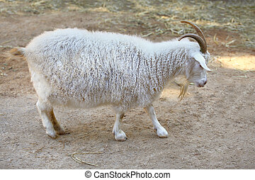 White angora goat with long hair