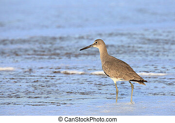 Shorebird wading in blue water - One willet wading at the...