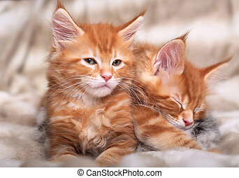 Two beautiful red solid maine coon kittens covered in warm...