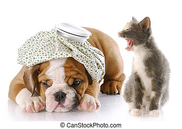dog and cat fight - angry kitten mouthing off to english...