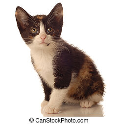calico kitten sitting on white background - seven weeks old