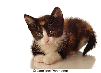 calico kitten lying down on white background - seven weeks...