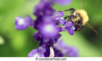 bumblebee flying round flower and pollinating it - close up...