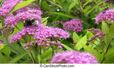 big bumblebee collects pollen on flowers - big bumblebee...