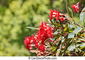 isolated red eucalyptus tree flowers - closeup of isolated...
