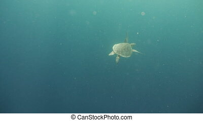 Sea turtle under water. - Sea turtle swimming underwater in...