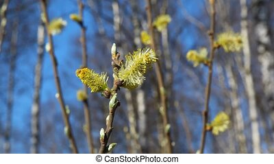 branch of bush with leaf buds in spring forest, close-up