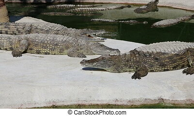 Scene with Big Crocodile  (zooming)