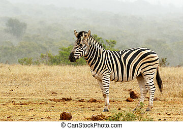 Burchell's Zebra standing and waiting at the watering hole.