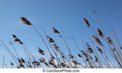 dry spring wild spikes waving by wind against blue sky