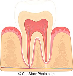 structure of human teeth - medical diagram of the structure...