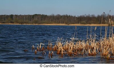 reed mace growths in water - reed mace growths in dark blue...