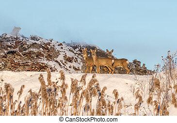 Roe deer living next to the junkyard in Fredrikstad Norway -...