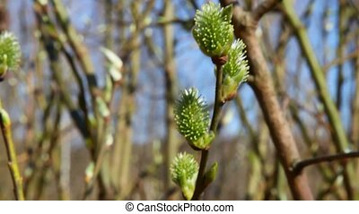 spring bush with leaf buds in forest, camera moving,...