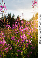 willow-herb - Pink flowers of fireweed (Chamerion...