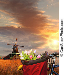 Basket of colorful tulips against Dutch windmills in Zaanse...