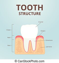 healthy teeth scheme - structure of a healthy human tooth,...