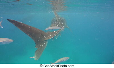 Whale Shark in ocean. - Whale Shark swimming in the clear...