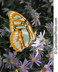 Malachite Butterfly - Malachite (Siproeta stelenes)...