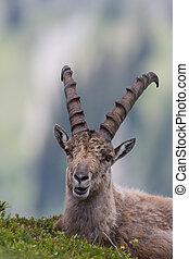 Capricórnio, Retrato,  Ibex