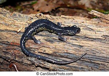Slimy Salamander - Alabama