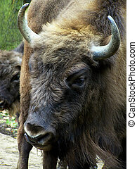 European Bison - Image of a European Bison