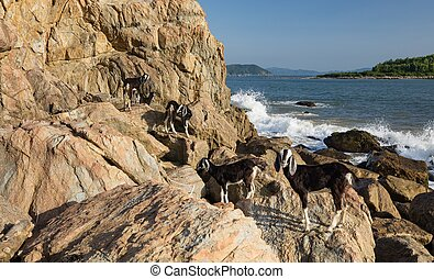 Goats On A Rocky Outcrop - A small herd of goats on a rocky...