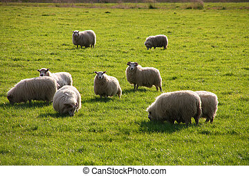 Icelandic Sheep - Icelandic sheep grazing on a green pasture...