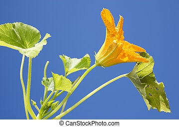 Courgette flower - Bright yellow courgette flower under blue...