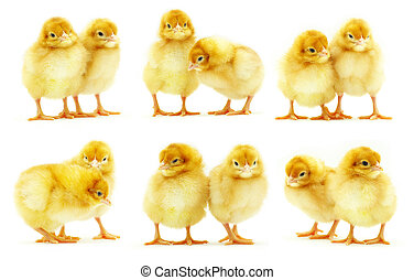 baby chicken - Cute little baby chicken isolated on white...