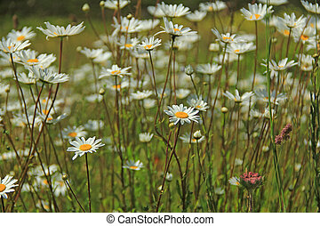 Flowering ox-eye daisys (Leucanthemum) in a meadow