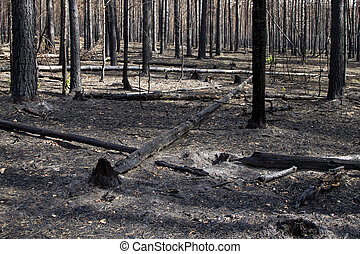 Burnt forest - burnt, charred trees after a forest fire