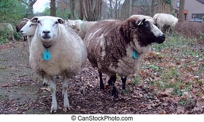 Two sheeps looking to the camera.