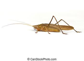 Katydid - Broad-tipped Conehead Katydid (Neoconocephalus...