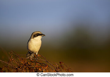 Loggerhead Shrike Portrait - A Loggerhead Shrike perches on...