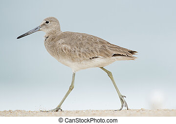Willet Stomp - A Willet walks along the beach stomping its...