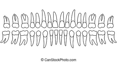 tooth chart teeth - teeth chart tooth, the front side of a...