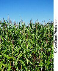 Maize Field - Image of a Maize Field