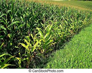 Maize Field - Image of a Maize Field