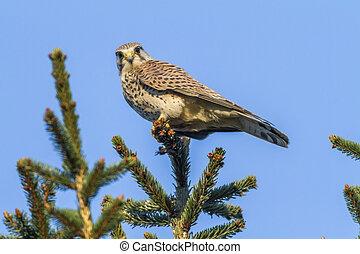 Common krestel (Falco tinnunculus) - A common krestel is...