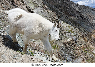 Rocky Mountain Goat - a rocky mountain goat or Oreamnos...